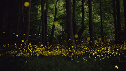 photo of fireflies in a forest